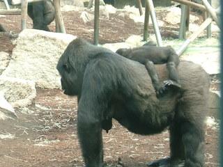 Flachlandgorilla - Gorilla, Gorillababy, Zoo, Flachlandgorilla, Schreibanlass, Affe