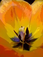 Tulpe, Mit Blütenstempel - Blütenstempel, Tulpe, Fruchtblätter, Blüte, Fruchtknoten, Samenanlagen, Griffel, Narbe, Frühblüher, Komplementärkontrast