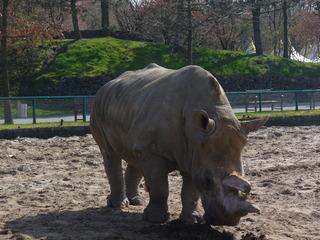 afrik. Nashorn - Safaripark, Nashorn, Afrika, 2 Hörner, Steppenbewohner, Unpaarhufer, Pflanzenfresser
