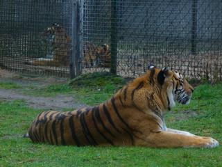 Tiger - Safaripark, Tiger, Raubkatze, braun, gestreift, Tarnung, Großkatze, Raubtier, Camouflage