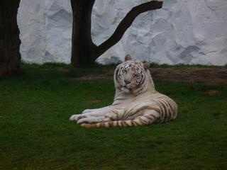 weißer Tiger - Safaripark, Tiger, Raubkatze, weiß, gestreift, Neuzüchtung, Teilalbino