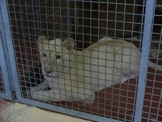 weißer Löwe # 1 - Safaripark, Löwe, Raubkatze, weiß, Jungtier, Käfig, Käfighaltung, traurig, antriebsarm