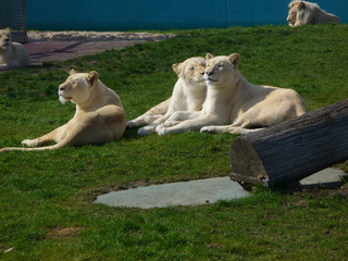 weiße Löwen - Safaripark, Löwengruppe, Raubkatzen, weiß, drei, liegen, Rudel