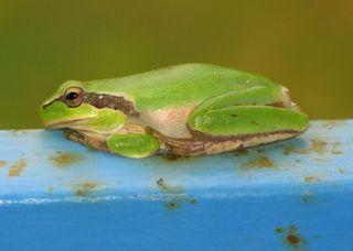 Laubfrosch - Laubfrosch, Amphibien, Europäischer Laubfrosch, Froschlurch, grün, leuchtend, glänzend, Frosch