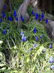 Perlhyazinthe - Liliengewächs, Perlhyazinthe, blau, einkeimblättrige Pflanze, blühend, Traubenhyazinthe