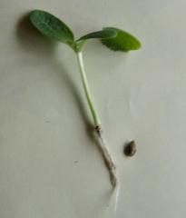 Zucchinipflanze beim Pikieren #1 - Zucchini, Zucchinipflanze, gekeimt, Trieb, Wurzeln, Kürbiskern, Anzucht, Jungpflanze