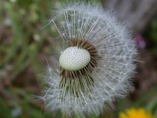 Pusteblume - Löwenzahn abgeblüht - Biologie, Pflanzen, Korbblütengewächse, Samen, Windverbreitung, Früchte, Löwenzahn, Pusteblume, Wildpflanzen, Wiesenblumen, Kuhblume, Meditation, Ruhe