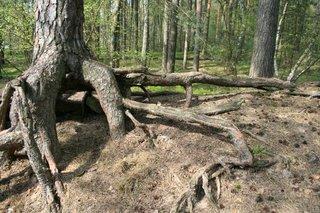 Baumwurzeln #1 - Baum, Wurzelwerk, Wurzeln, Wald, Natur, Nahrung aufnehmen, Boden