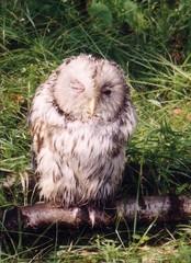 Eule - Tiere, Europa, Wildtiere, Vogel, Nickhaut