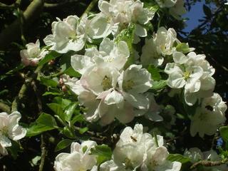 Apfelblüte - Obstbaum, Apfel, Blüte, Frühling
