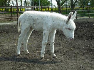 Esel : Albino #1 - Esel, Jungtier, weiß, Fell, Albino, Paarhufer, Haustier, Seltenheit, Gendefekt