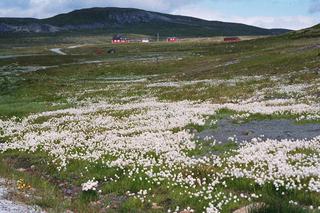 Wollgras auf dem Fjell - Norwegen, Natur, Hardangervidda, Hochebene, Europas größtes Hochplateau, Fjell, Tundra, Gras, Pflanzen, blühen, Landschaft