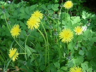 Löwenzahn - Löwenzahn, Pusteblume, gelbe Blüten, Korbblütengewaechs, Milchsaft, Pfahlwurzel, Wildgemüse