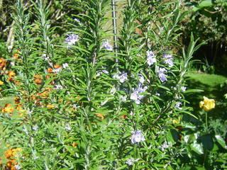 Rosmarin - Rosmarin, Blüte, Gewürzpflanze, Heilpflanze, Mittelmeer, Lippenblütengewächs, ätherische Öle