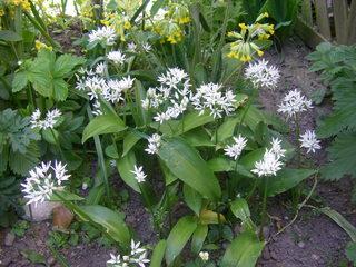 Bärlauch - Bärlauch, Lilienähnliche, Zwiebelgewächse, Heilpflanze, Gewürzpflanze, weiße Blüten, Knoblauchgeruch, Pesto, Gewürz