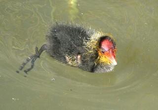 Junges Blässhuhn #3 - Blässhuhn, Ralle, Wasservogel, Fütterung, Wasser, Brutpflege, Vogelfamilie, Familie, füttern, schwimmen, Wasser, Duckente