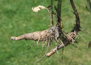 Rhizom - Botanik - Sprossachsensystem, Wurzel, Wurzelwerk