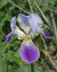 Irisblüte - Iris, Schwertlilie, lila, blau, Heraldik, Lilie