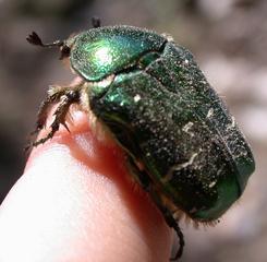 Goldrosenkäfer - Käfer, grün, schillernd, Insekt, glänzen, Cetonia aurata
