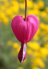 Tränendes Herz - Frühblüher, Frühling, Herzblume, Blutendes Herz, Falsches Herz, Flammendes, Fliegendes Herz, Gebrochenes Herz, Frauenherz, Herz Mariä, Herzerlstock, Jungfernherz, Männerherz, Marienherz, Mutterherz, Tränendes Herz, Erdrauchgewächs, Kaltkeimer, Blüte, herzförmig, rosa