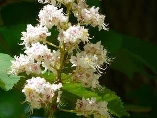 Kastanienblüte - Kastanie, Blüte, Frühling, Baum, Kastanienbaum, Laubbaum