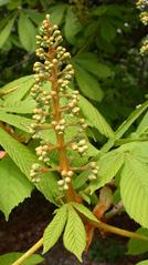 Kastanienblüten - noch geschlossen - Blüten, Blüte, blühen, Laubbaum, Kastanie, Kerzen, Frühling, Gewöhnliche Rosskastanie, Aesculus hippocastanum, Gemeine Rosskastanie, Weiße Rosskastanie