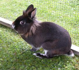 Zwergkaninchen - Kaninchen, Haustier, Zuchttier, Tierkind, Zuchtkaninchen, Jungtier