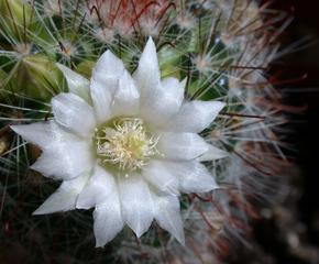 Kaktusblüte - Kaktus, Kakteen, Blüte, Stacheln, Dorn, stachelig, Sukkulente
