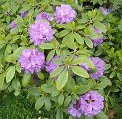 Rhododendron - Rhododendron, Heidekrautgewächs, immergrün, Strauch, giftig