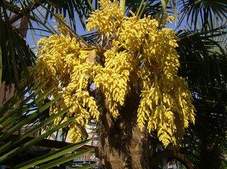 Fächerpalme #2 - Fächerpalme, Hanfpalme, Palmengeächs, Blüte, Blütenstand männlich