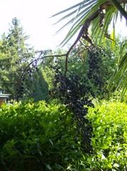 Fächerpalme #3 - Fächerpalme, Hanfpalme, Palmengeächs, Früchte, reif, blau