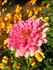 Zinnie - pink, Blume, Zinnie, Korbblütler, Hüllblätter, giftig