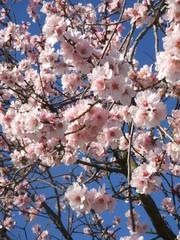 Mandelblüte - Baum, Blüten, Mandel, Mandelbaum, Mandelblüte, rosa