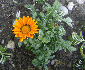 Mittagsblume - Garten, Sommer, Mittagsblumen, Dorotheanthus bellidiformis, Mittagsblume, Blume, gelb, Korbblüter
