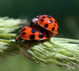 Marienkäfer - Käfer, Marienkäfer, Insekten, rot, Nützling, Fortpflanzung, Kopulation, Paarung