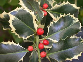 Ilex - Frucht - Stechpalme, Ilex, Blätter, Beeren, rot, ungenießbar, Strauch, Weihnachtsschmuck, immergrün, giftig, Giftpflanze, zweihäusig, weiblich