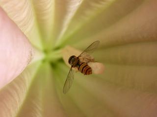 Schwebfliege - Biologie, Pflanzen, Tropenblüten, Trompetenblüte, Knospen, giftig, Trompetenbaum, Lippenblütler, Giftpflanze, Engelstrompete, Nachtschattengewächs, Schwebfliege, Gartenschwebfliege, Syrphidae, Zweiflügler