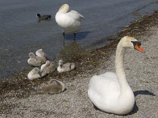 Schwan - Vogel, Schwan, Jungtier, schwimmen, Wasser, Schwäne, Wasservogel, Höckerschwan, Schnabel, weiß, grau, Ufer