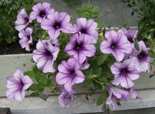 Petunie - Petunie, Nachtschattengewächs, einjährig, asternähnlich, Blüte, Blüten, Zierpflanze, lila
