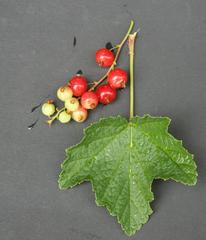 Johannisbeere - Johannisbeere, Obst, Frucht, Johannisbeere, Ribes, Ribisel, Träuble, Meertrübeli, Stachelbeergewächs, Beerenobst, Strauch, Laubblätter, unreif