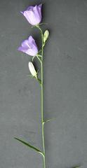 Glockenblume blau - Pflanzen, Blumen, Blüten, blau, Glockenblume, Gartengewächse, Staubgefäße, Stiel, Stängel