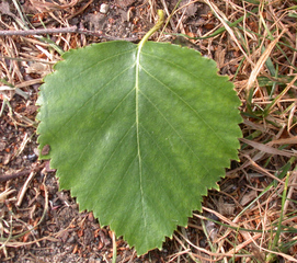 Birkenblatt - Blatt, Weißbirke, Birke, dreieckig, gesägt, einhäusig, Wald, Pionierpflanze, Laubbaum, Blattform, Hängebirke