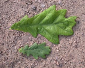 Eichenblatt - Blatt, Eiche, Stieleiche, gebuchtet, Laubbaum, Wald, gelappt, einhäusig