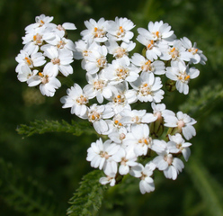 Schafgarbe - Achillea millefolium, Kräuter, Pflanzen, Blumen, Blüten, Schafgarbe, weiß, Korbblüte