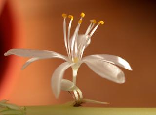 Grünlilie - Blüte - Liliaceae, Liliengewächse, Chlorophytum comosum, Grünlilie, Zierpflanze, Zimmerpflanze, vegetative Vermehrung