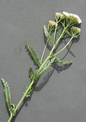 Schafgarbe - Achillea millefolium, Kräuter, Pflanzen, Blumen, Blüten, Schafgarbe, weiß, Korbblüte, Dolde