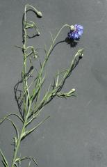 Kornblume - Blüten, Korbblütengewächse, Getreidefelder, Blüte, blau, Blume, Kornfeld, Naturschutz, Heilpflanze, einjährig, Centaurea cyanus, Flockenblume, Korbblütler