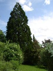 Mammutbaum - Mammutbaum, Nadelbaum, hoch, alt, immergrün