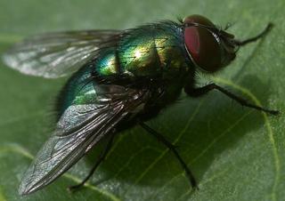 Glanzfliege mit Facettenauge - Insekt, Fliege, Komplexauge, Chitinpanzer