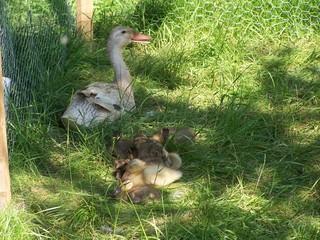 Laufenten bei der Mittagspause - Geflügel, Nutztiere, Ente, Laufente, Küken, Entenküken